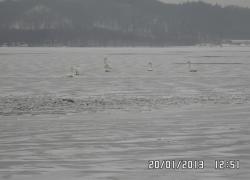 Podejrzenie przymarznięcia łabędzi na jeziorze Żarnowieckim