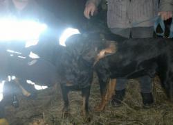 Pies uwięziony w studzience kanalizacyjnej