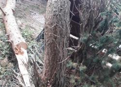 Niebezpiecznie pochylone drzewo w Nadolu - 14.09.2019