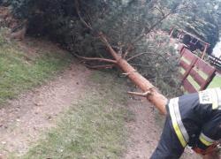 Niebezpiecznie pochylone drzewo w Nadolu