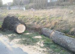 Powalone drzewo w Kostkowie